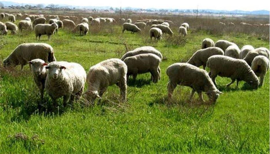 افزایش نگران کننده اجاره مزارع سبز گندم برای چرای دام