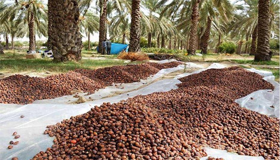 افزایش ۱۰ تا ۱۵ درصدی قیمت خرید خرما از نخلستانداران